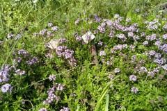 Thymian im Blühwiesenbereich